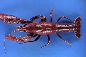 external image crayfish.JPG
